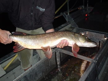 Non Native Northern Pike