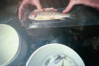 Native Sullivan Creek Westslope Cutthroat Trout
